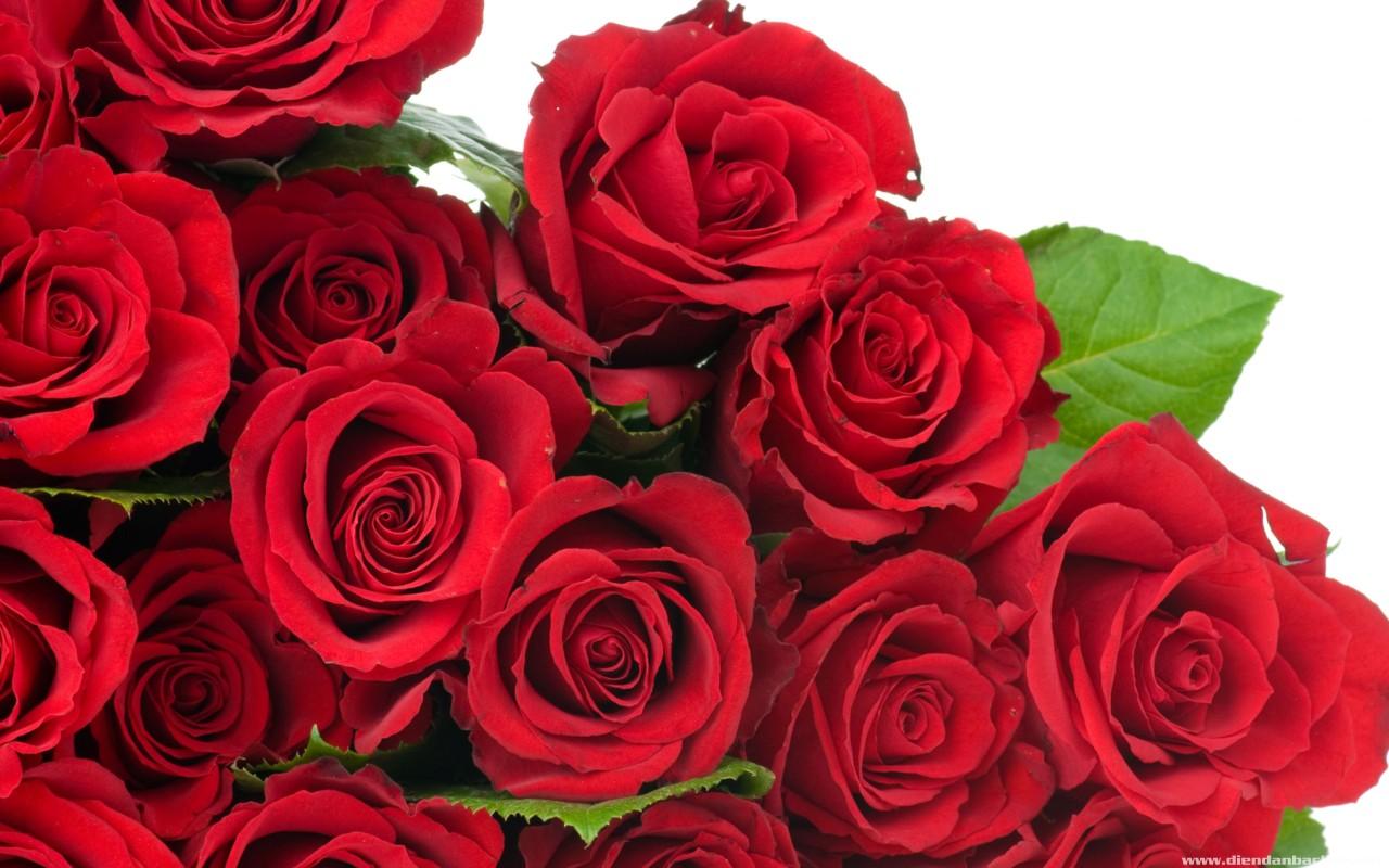 Nguồn gốc hoa hồng